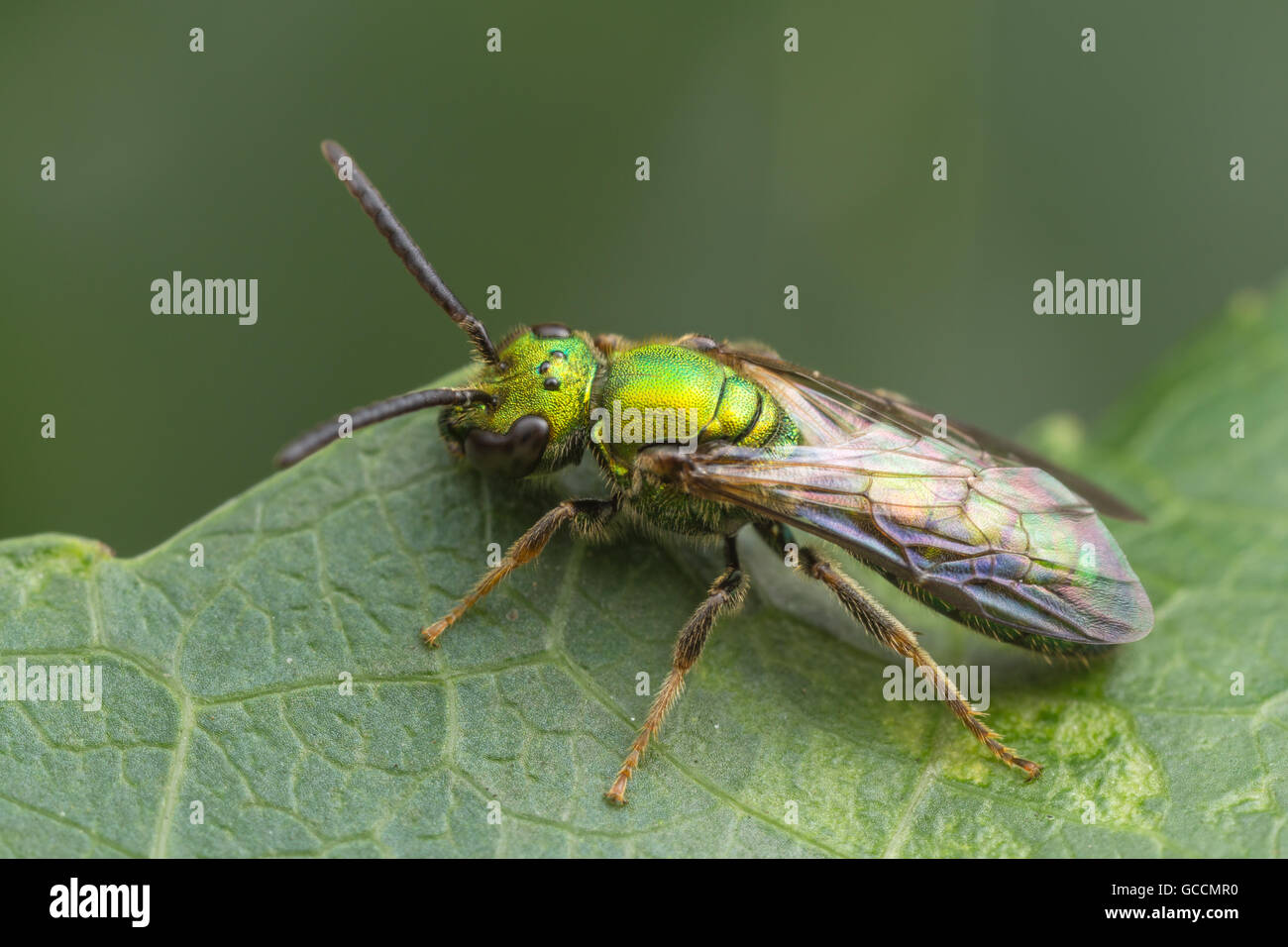A bright metallic green Sweat Bee (Augochlora pura) stands at the edge of a leaf. - Stock Image