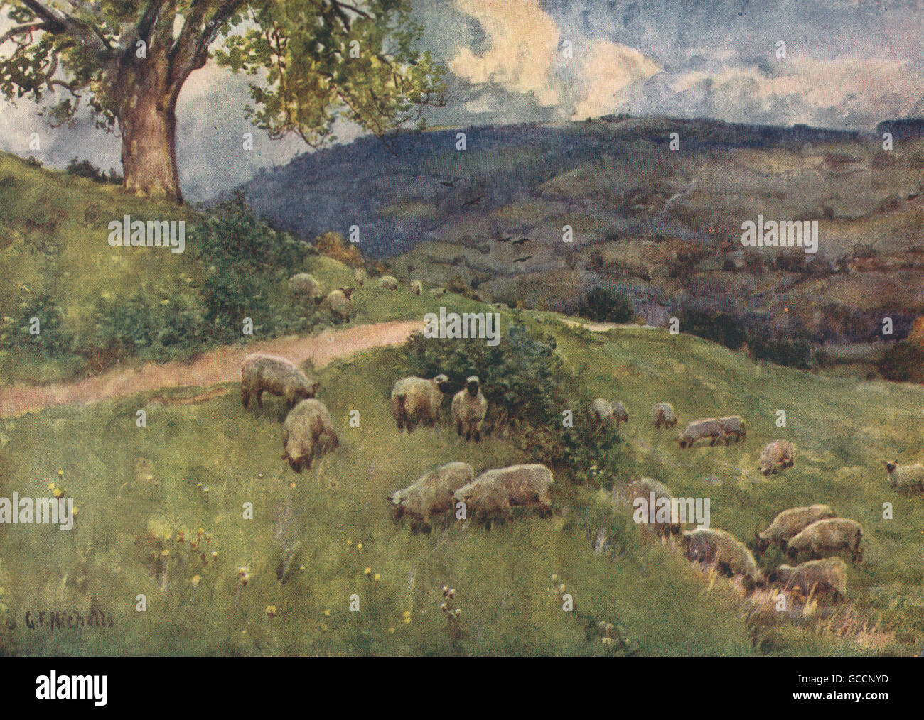COTSWOLDS. A Cotswold sheep pasture. By GF Nicholls, antique print 1908 - Stock Image