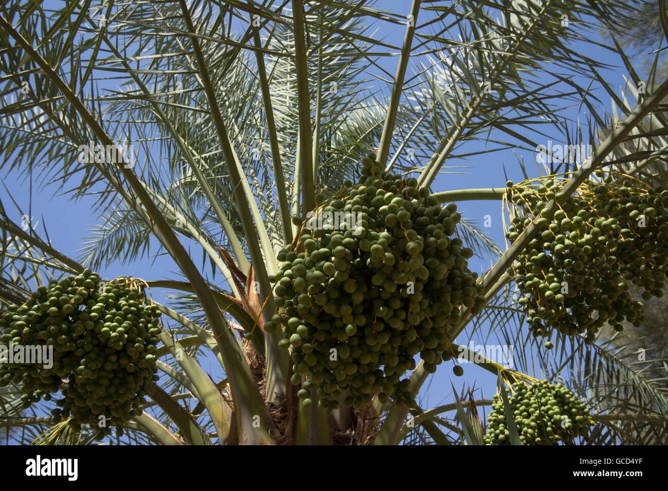 Bunches of dates maturing on a date palm - Stock Image