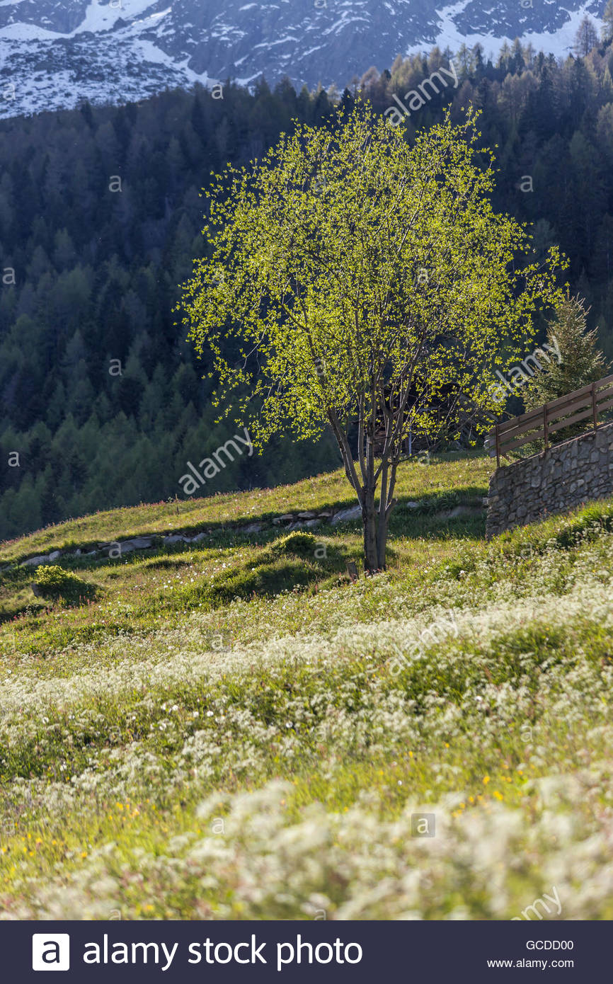 Flower meadow and flourishing trees in South Tyrol, Italy - Stock Image