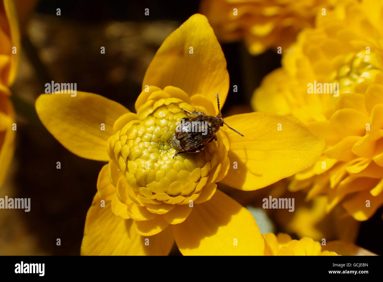 Close-up of varied carpet beetle (Anthrenus verbasci) on a double marsh marigold (Caltha palustris plena) flower - Stock Image