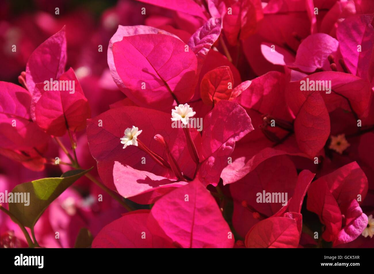 Bright pink floral background with hot pink leaves and white stamens bright pink floral background with hot pink leaves and white stamens in garden setting in western australia mightylinksfo