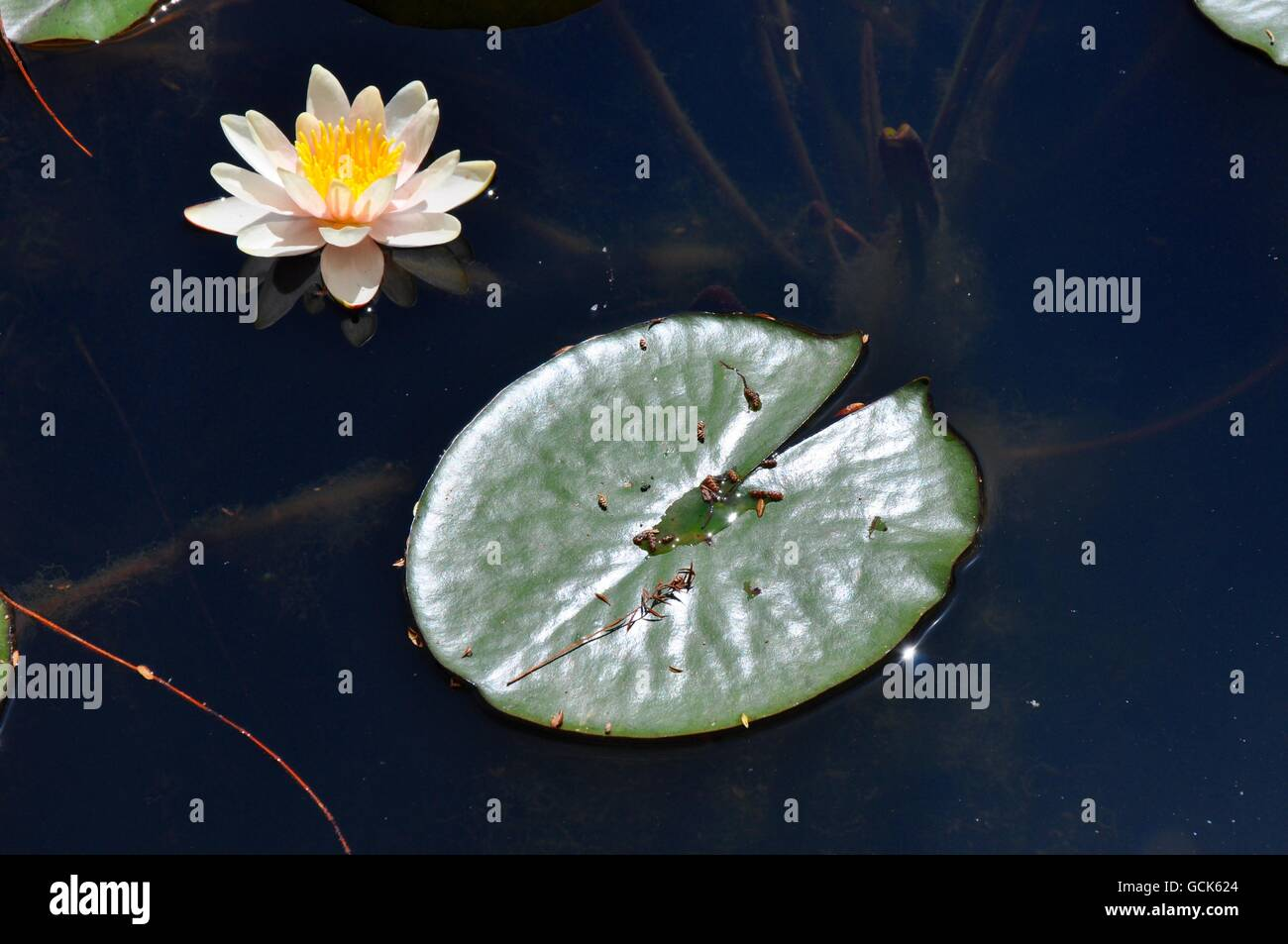Yellow Lily Pad Green Stock Photos & Yellow Lily Pad Green Stock ...