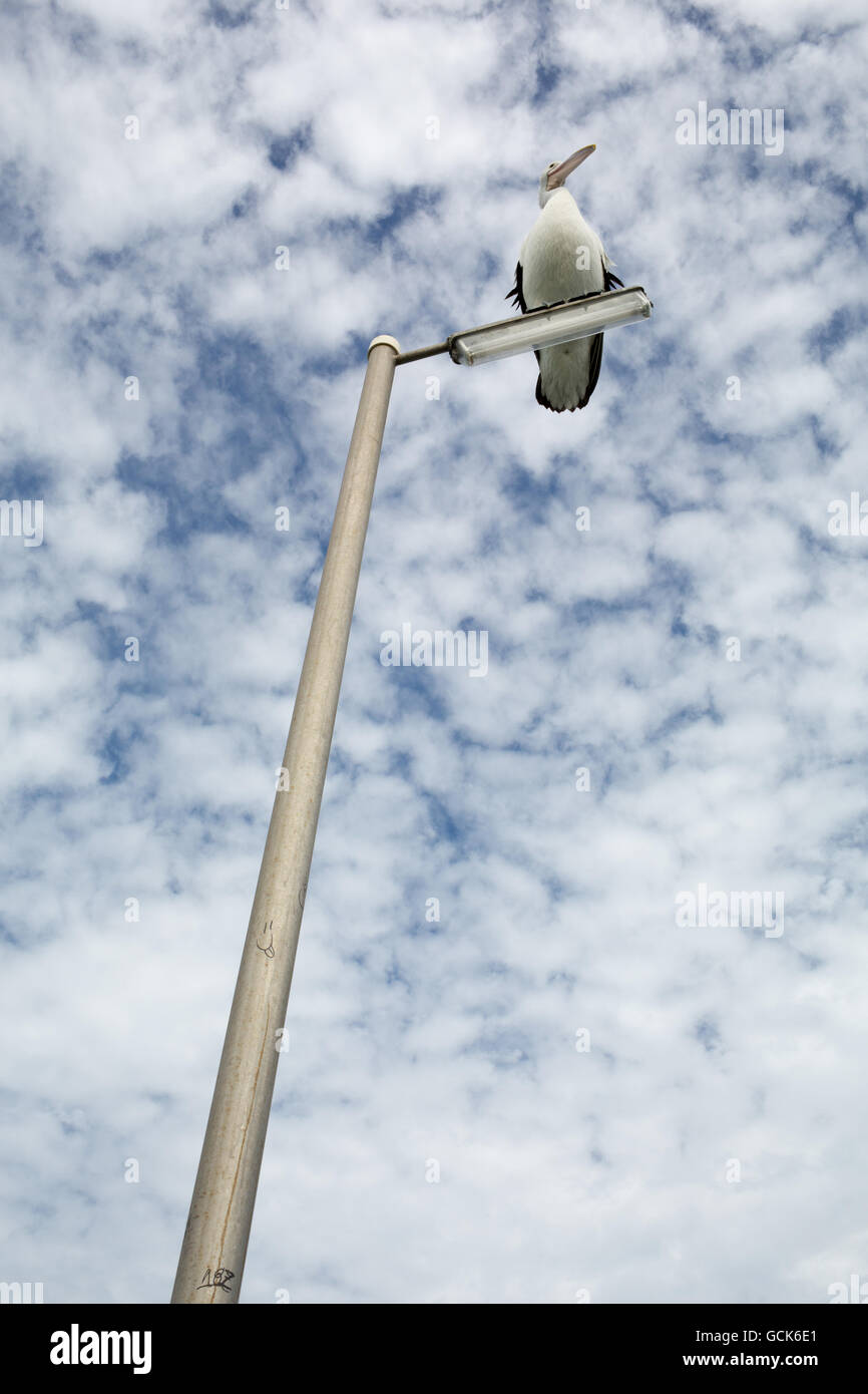 Pelican sitting on light pole. - Stock Image