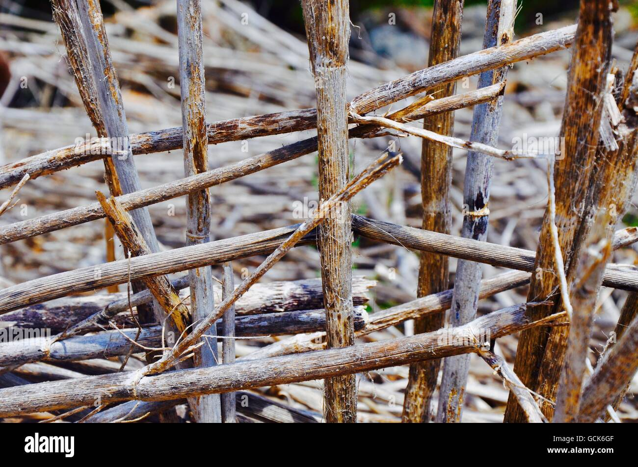 Closeup of dried bamboo branches cross hatched in an outdoor nature setting in Western Australia. - Stock Image