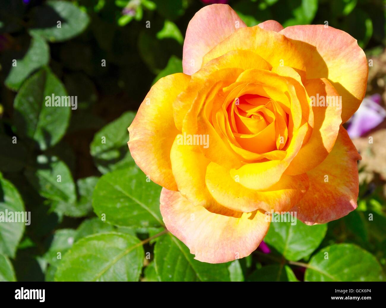 Peach and yellow friendship rose flower with green leaf background peach and yellow friendship rose flower with green leaf background mightylinksfo
