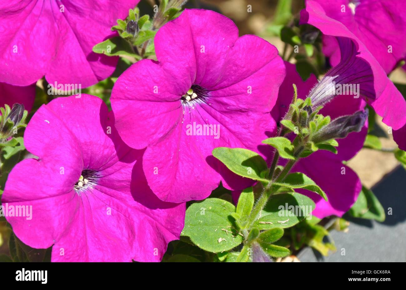 Hot Pink Purple Flowers Stock Photos Hot Pink Purple Flowers Stock