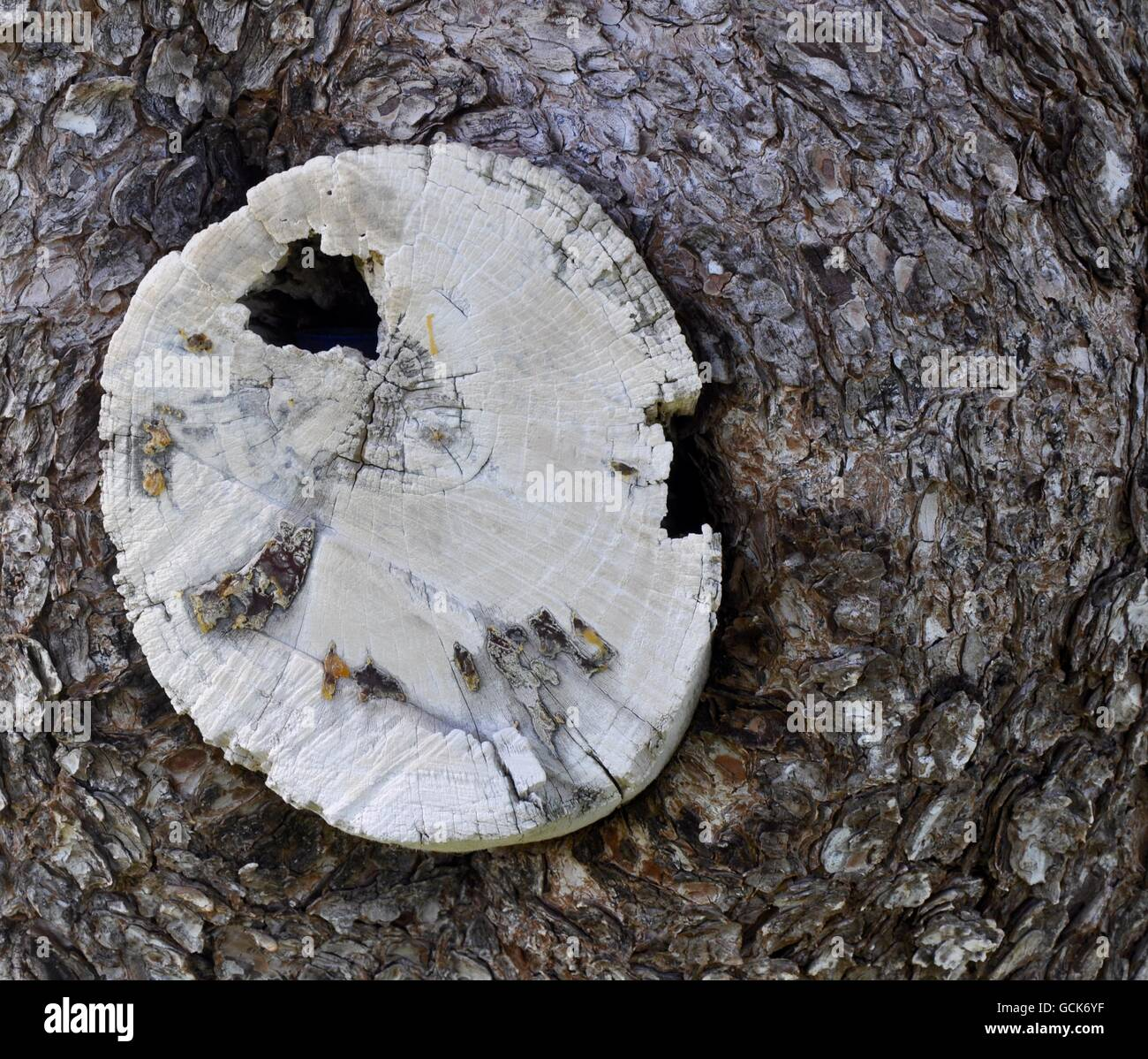 Abstract closeup of tree trunk texture with large white colored tree trunk nestled within grey bark in Western Australia. - Stock Image