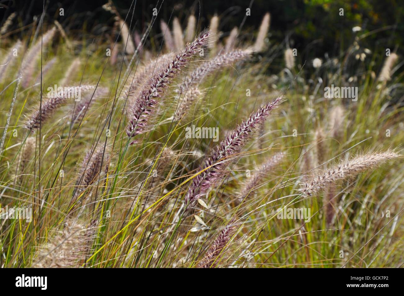 Meadow of ornamental purple fountain grass with large seed heads in meadow of ornamental purple fountain grass with large seed heads in uncultivated western australia nature workwithnaturefo