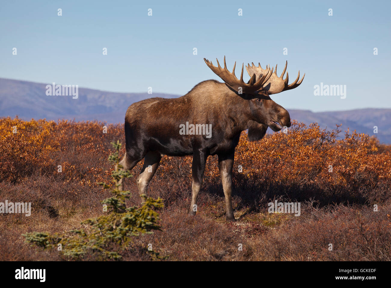 Moose (Alces alces) bull walking on a ridge and grunting during rut, Denali National Park and Preserve, Interior - Stock Image