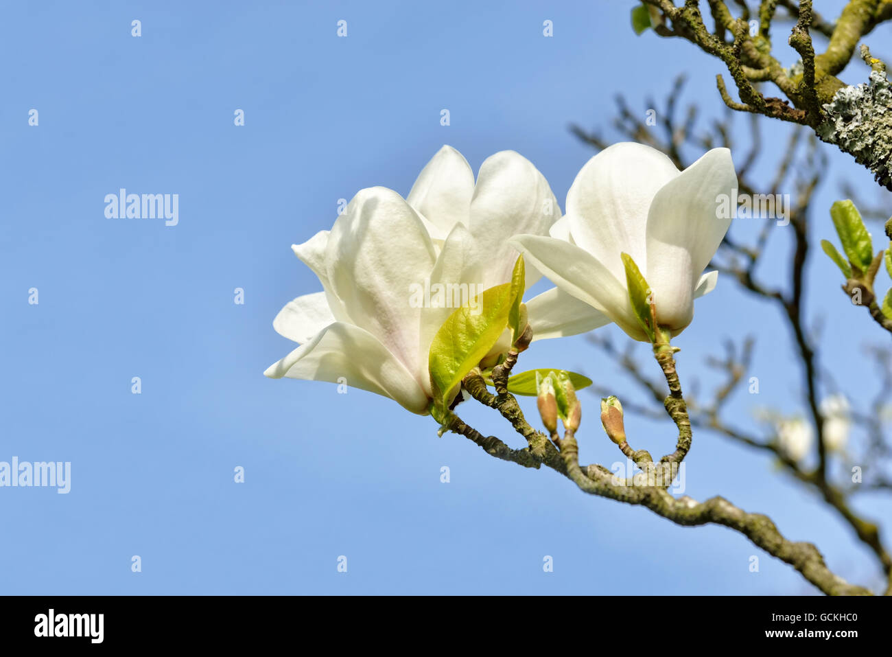 Magnolia tree with big white flowers on blue sky stock photo magnolia tree with big white flowers on blue sky mightylinksfo