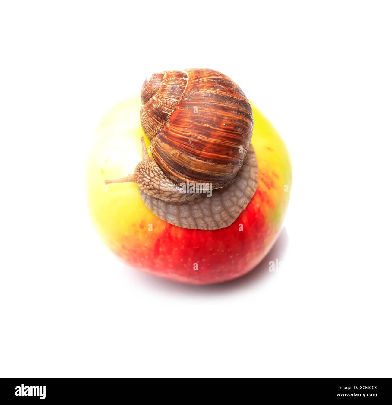 Life concept. Ordinary snail on freshness apple on white background Stock Photo