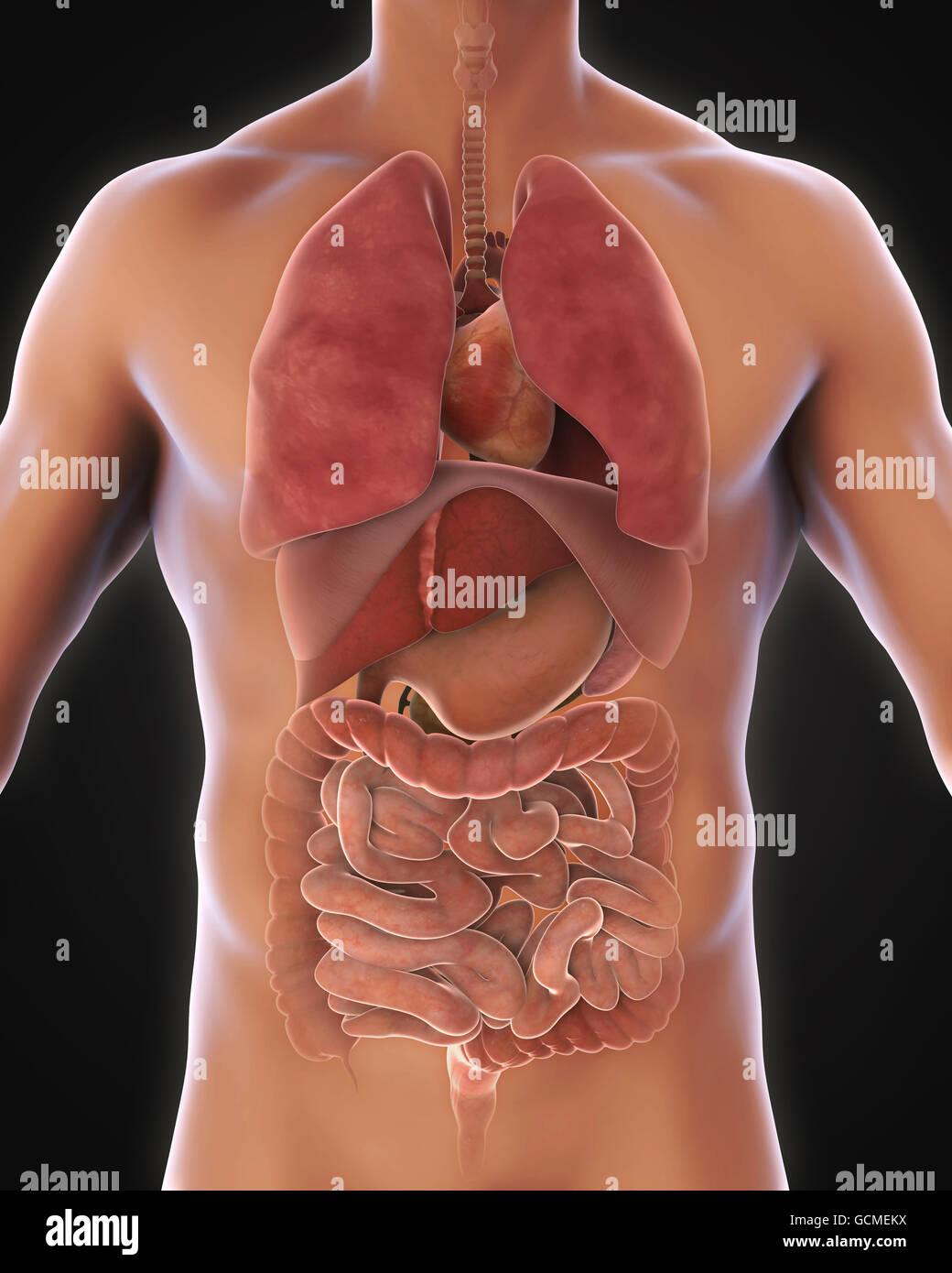 Anterior View of Human Body - Stock Image