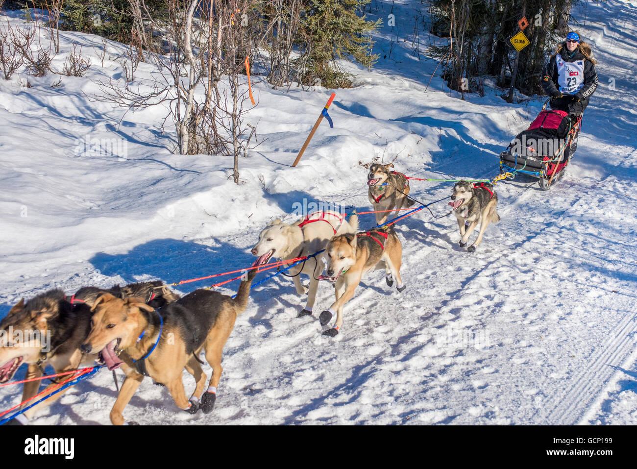 Anna Berington and team run down the trail on Long Lake shortly after leaving the re-start in Willow, Alaska during - Stock Image