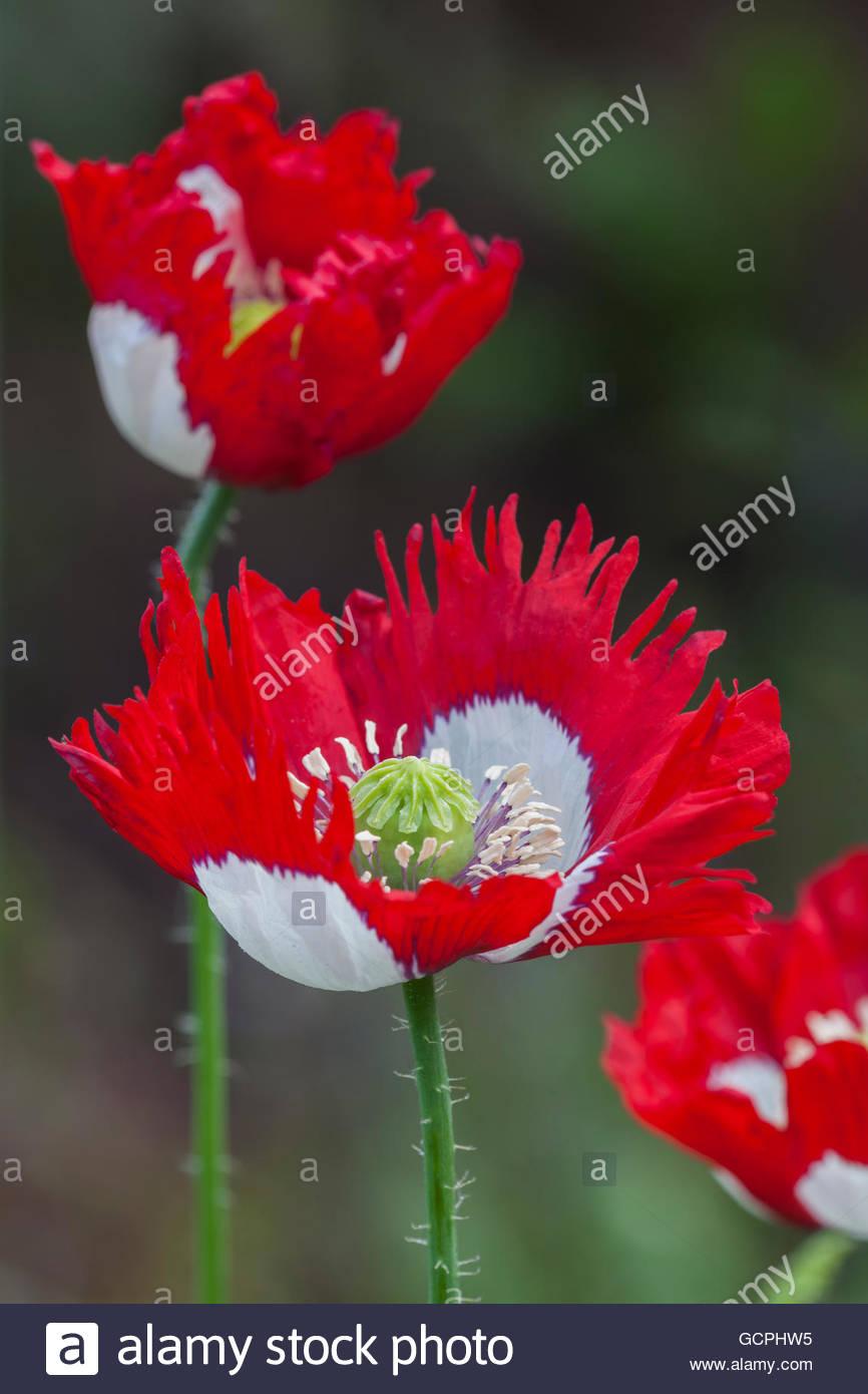 Opium poppies papaver somniferum blossoms stock photos opium papaver somniferum victoria cross stock image mightylinksfo
