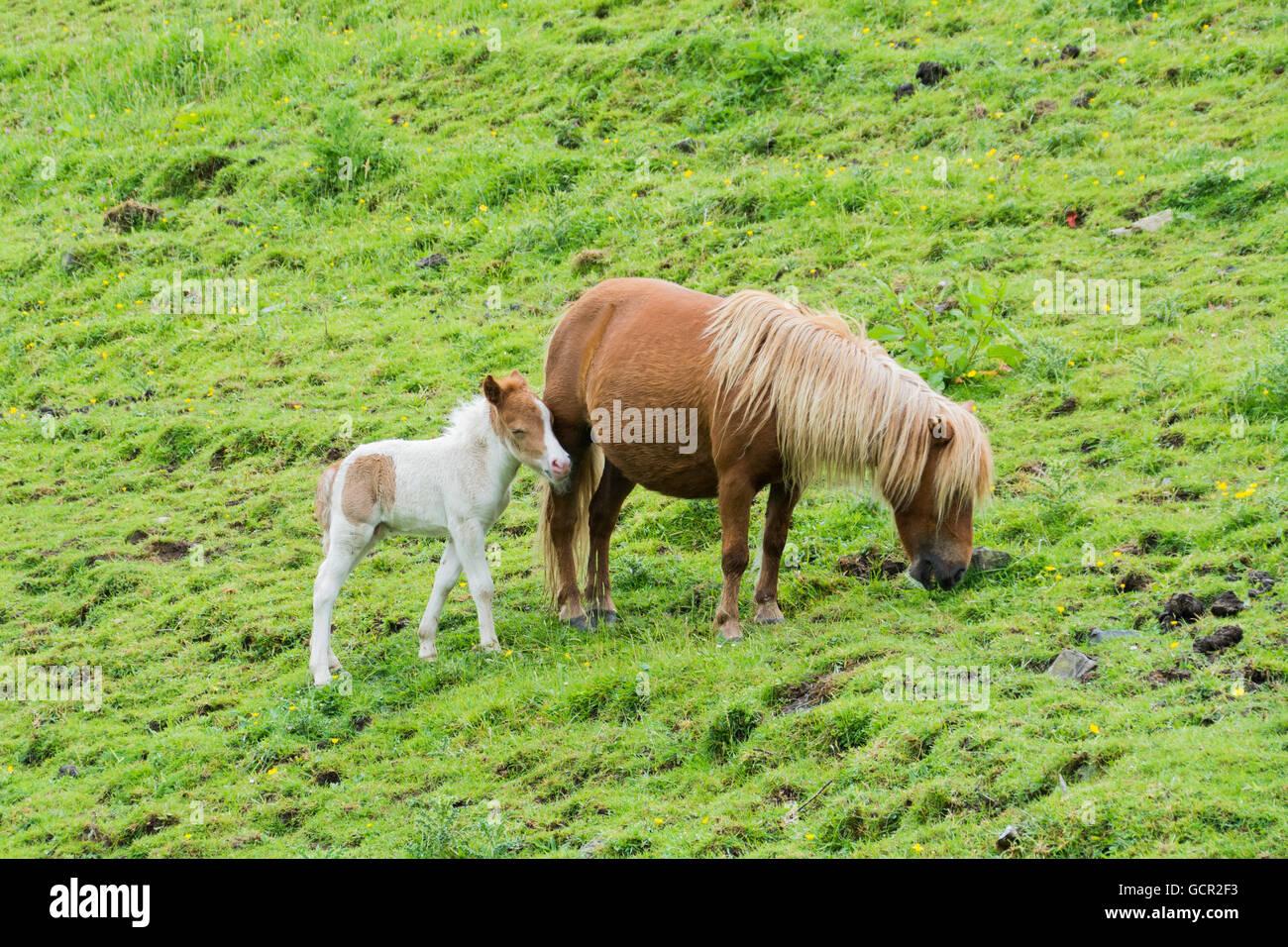 Dartmoor pony and her foal - Stock Image