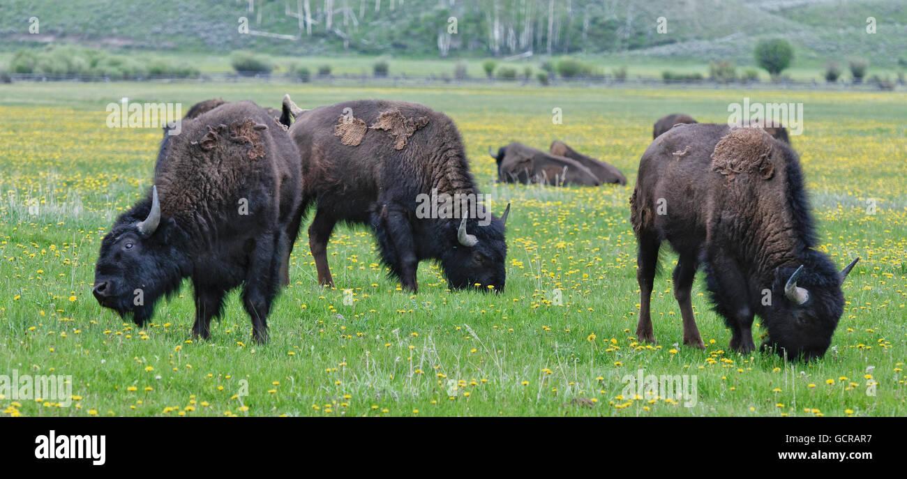 Bison at Antelope Flats, Grand Teton National Park, Wyoming - Stock Image