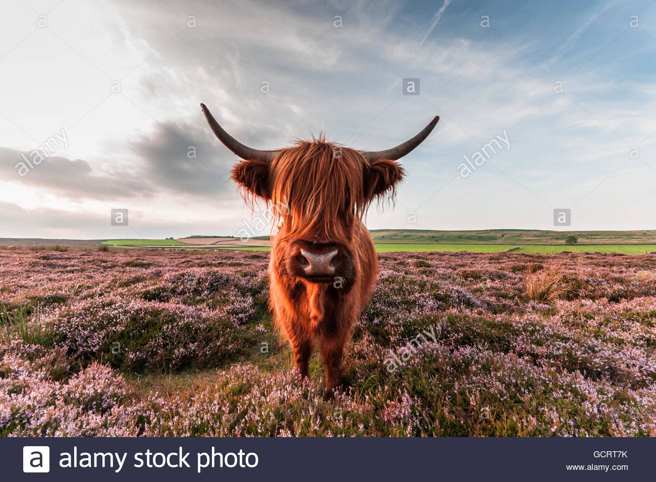 Baslow Highland Cow - Are You Looking At Me - Stock Image
