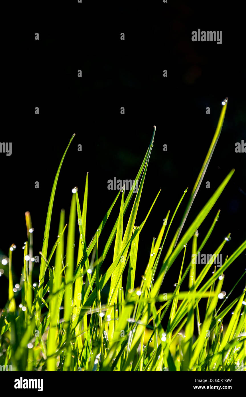 Dewdrops on grass in meadow - Stock Image