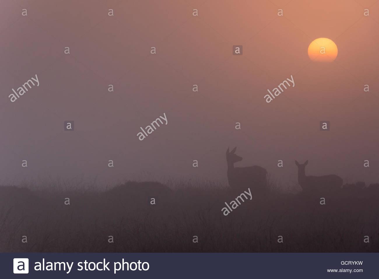 Deer in Curbar Edge - Stock Image