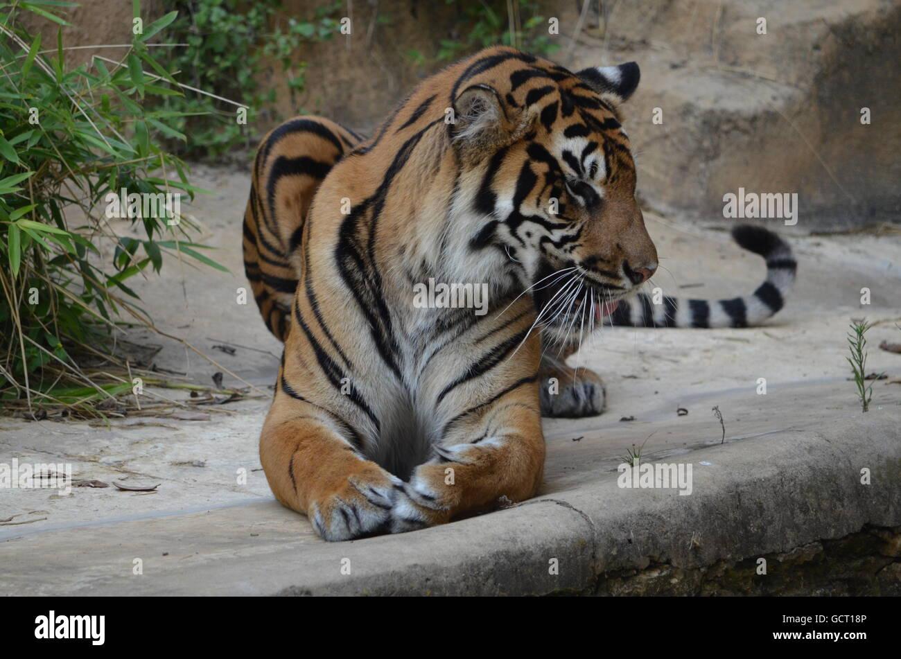 Sumatran Tiger Peering Over Ledge and Growling San Antonio Zoo San Antonio Texas USA - Stock Image