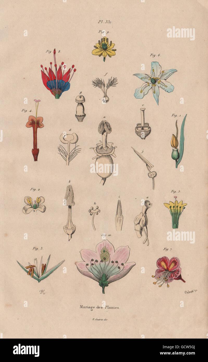 PARTS OF FLOWERS: Mariage des Plantes. Plants, antique print 1833 - Stock Image