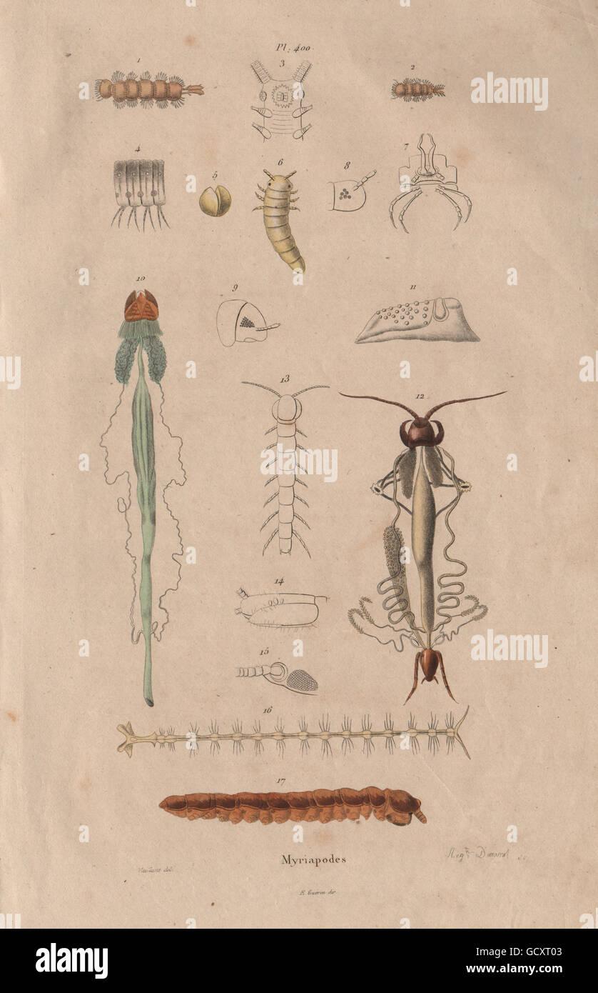 MYRIAPODS ANATOMY: Myriapoda. Arthropods, antique print 1833 Stock ...