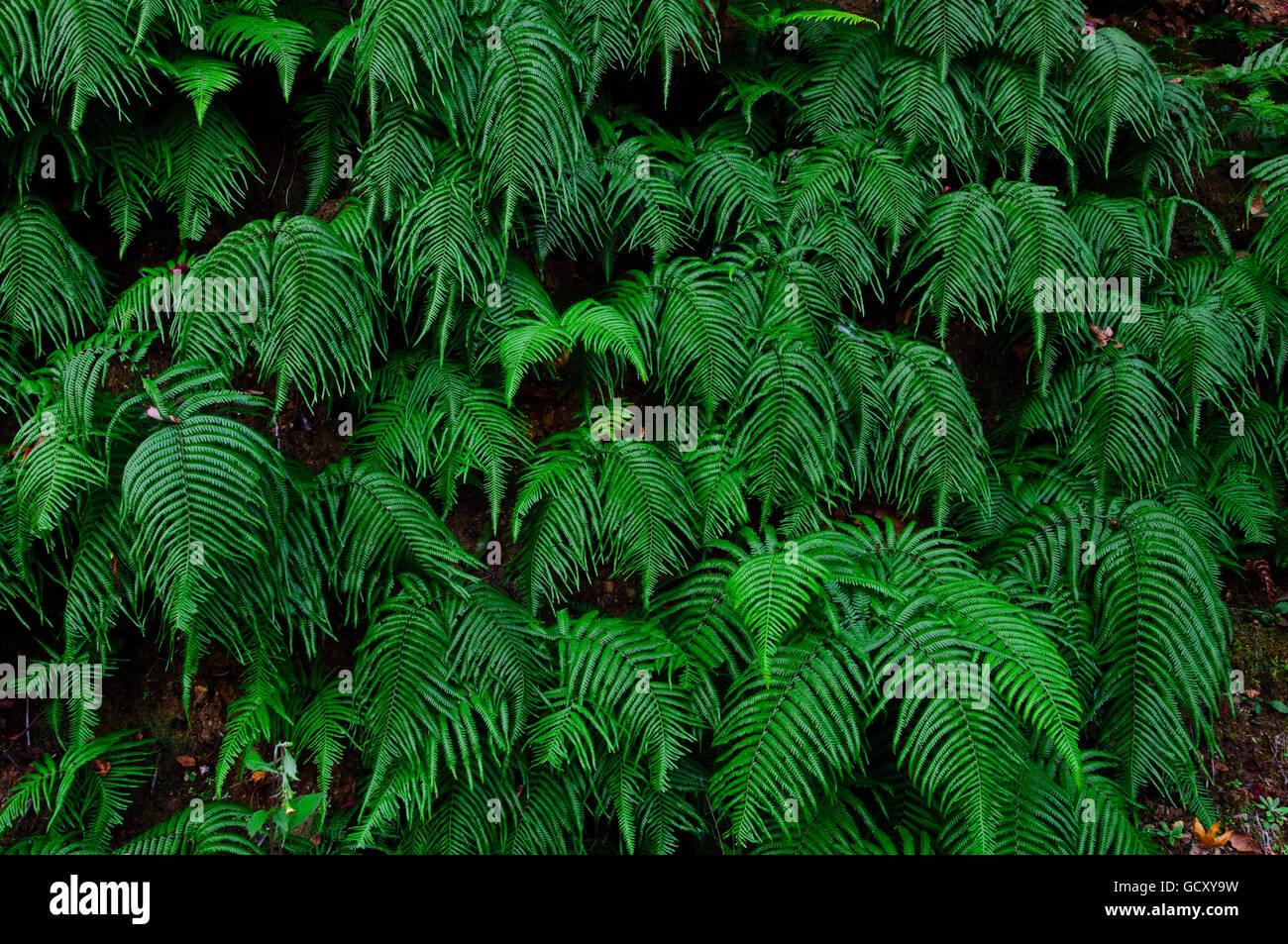 Fern plants, Sagano, Kansai, Japan, Asia - Stock Image