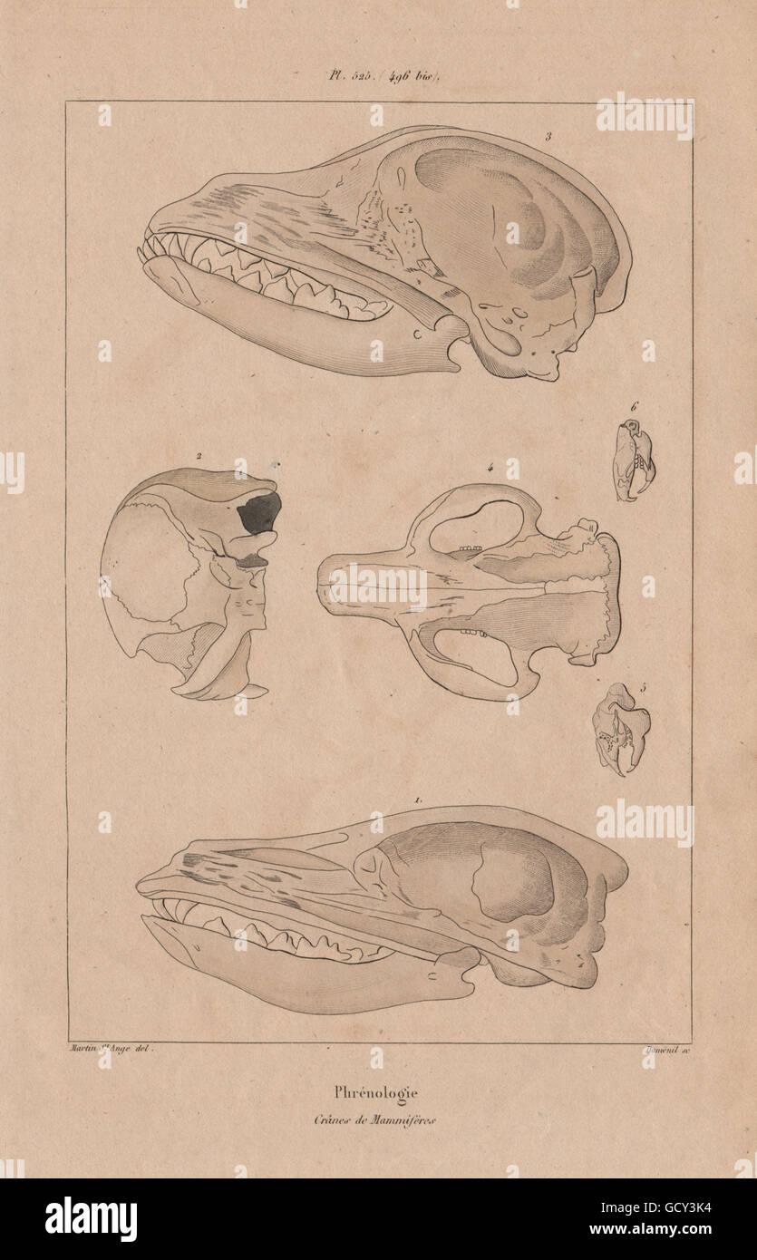 ANATOMY: Phrénologie (Phrenology). Crânes de Mammifères. Mammal ...