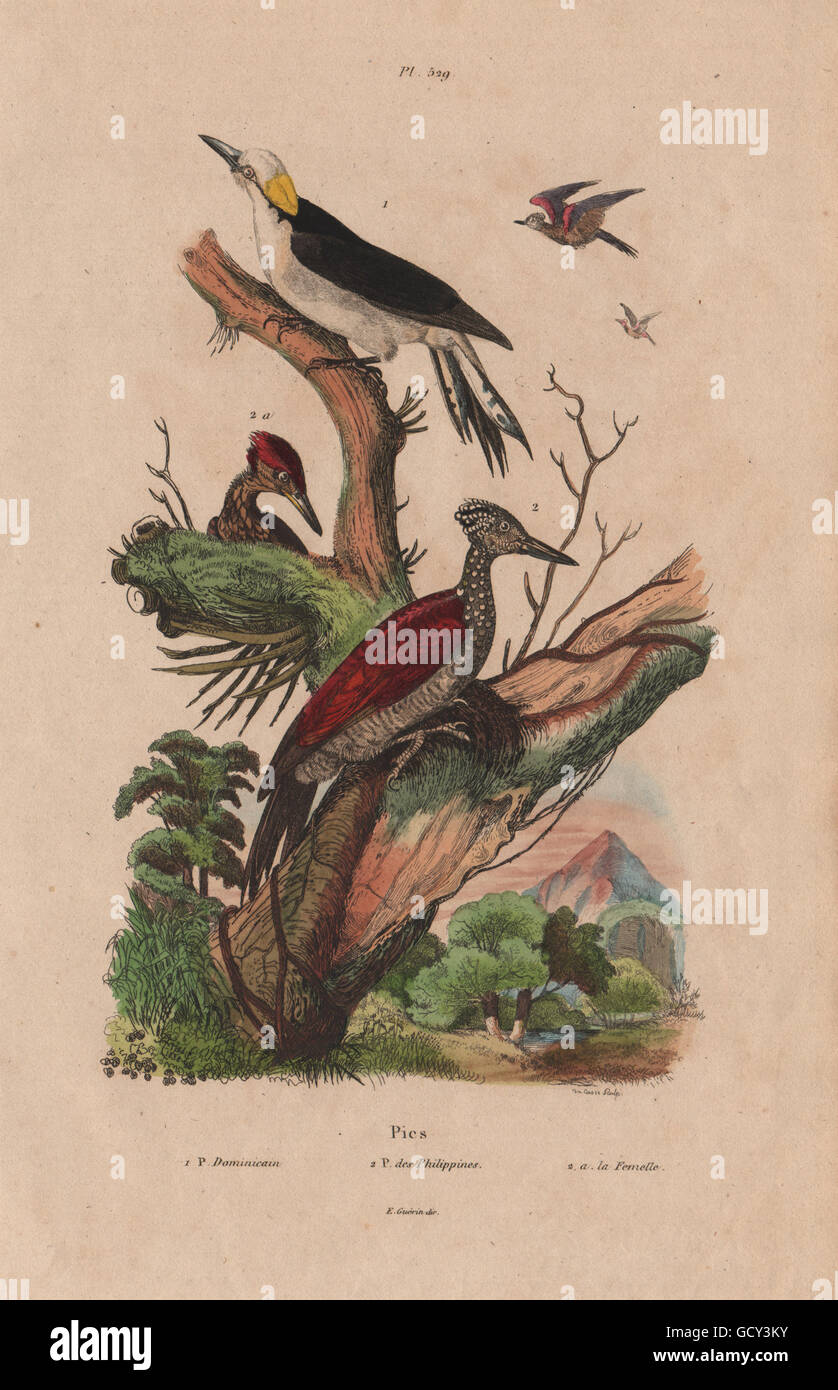 Dominican/white woodpecker. Chrysocolaptes lucidus - Greater Flameback, 1833 - Stock Image