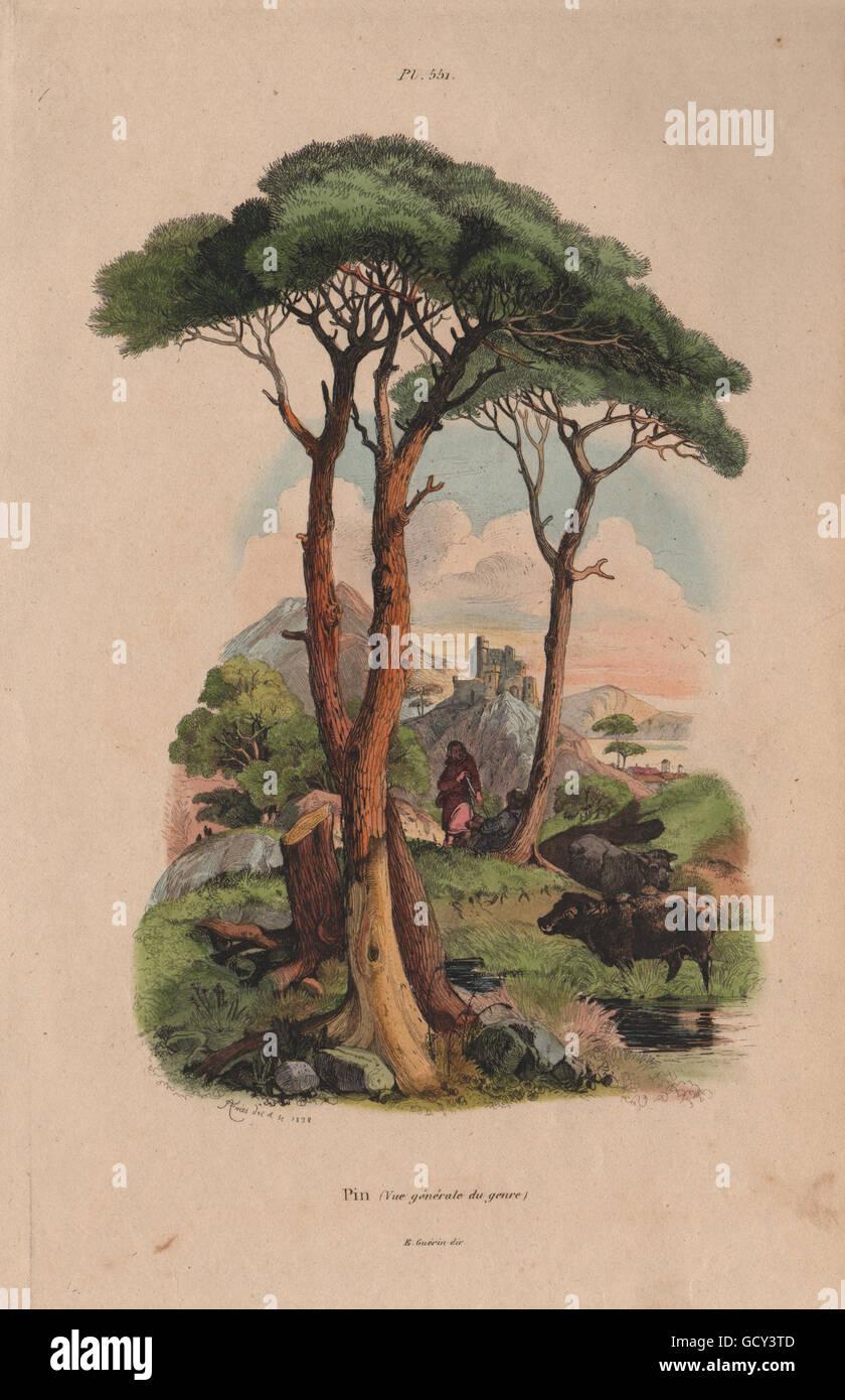 PINE TREE: Pin (Vue générale du genre), antique print 1833 - Stock Image