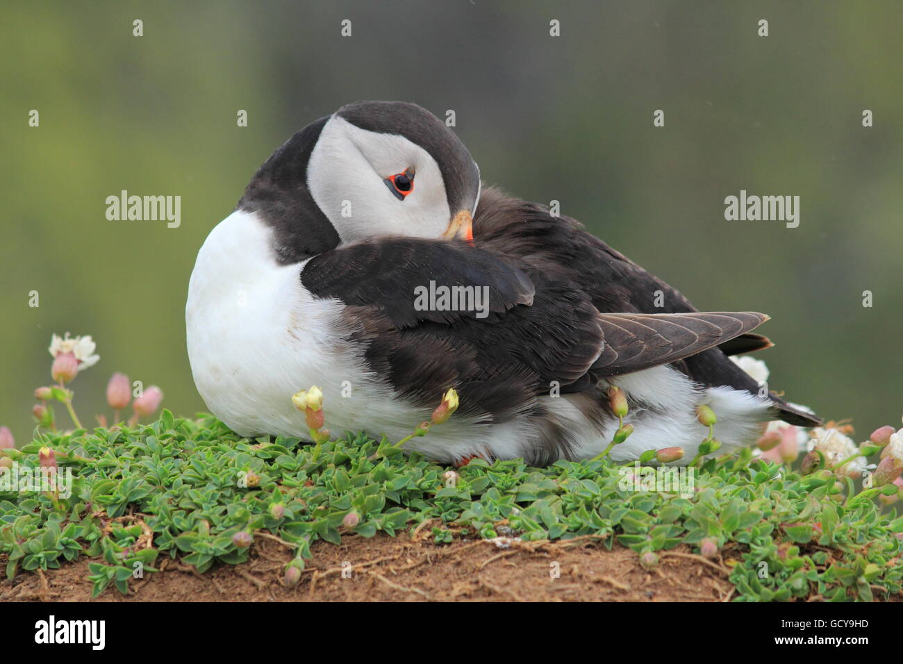 Puffin having a snooze on Skomer Island - Stock Image
