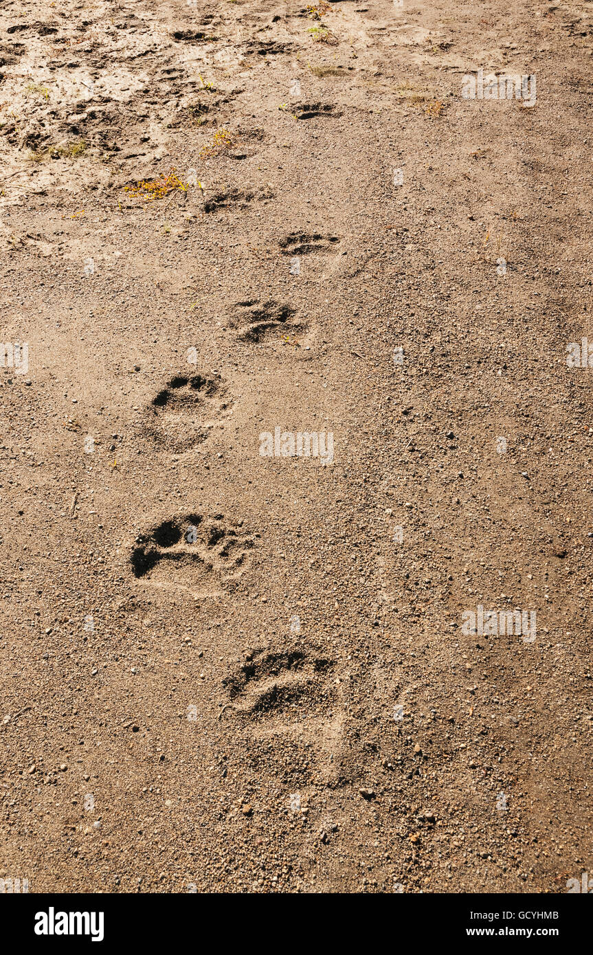 Brown bear tracks amble down an Alaskan shoreline, Katmai National Park, Southwest Alaska - Stock Image