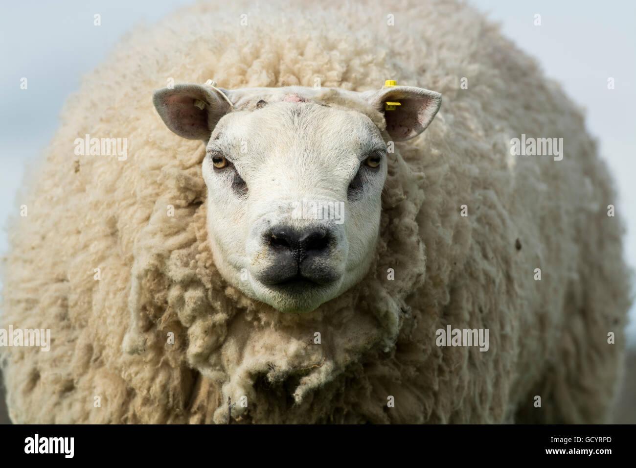 Head of a Beltex ram, in full wool. Lancashire, UK. - Stock Image