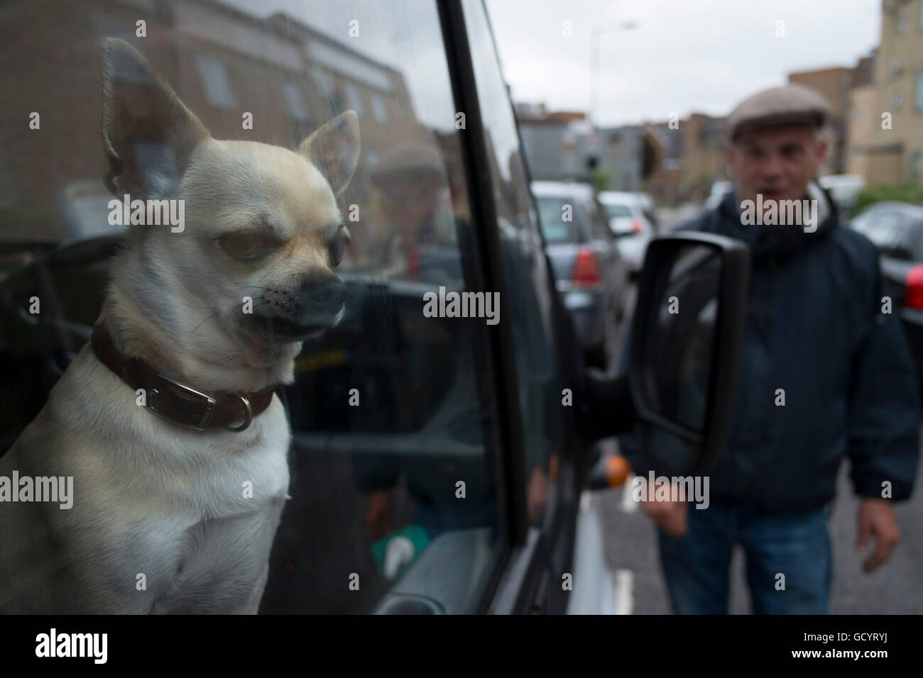 5bb08c342402c1 Chihuahua dog looking out of the window of his owners van in Hackney