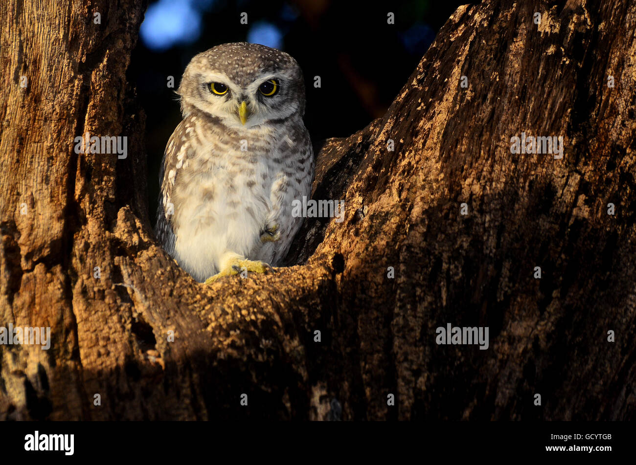In the slant of evening light, this spotted owlet was seen quite comfortably relaxing on the tree. - Stock Image