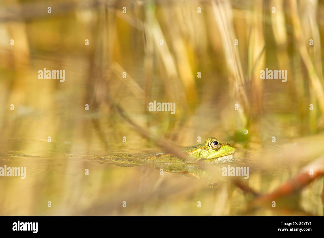 Edible frog (Pelophylax kl. esculentus) in a pond in Frankfurt, Germany. - Stock Image