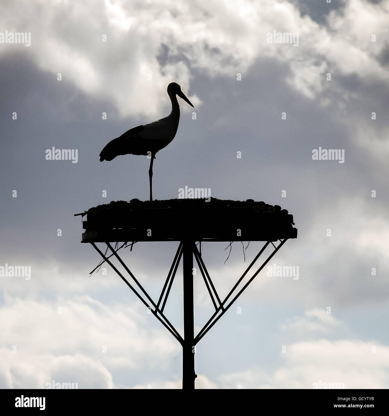 A White Stork seen on it's raised nest silhouetted against clouds in Bialystok, Poland. Stock Photo