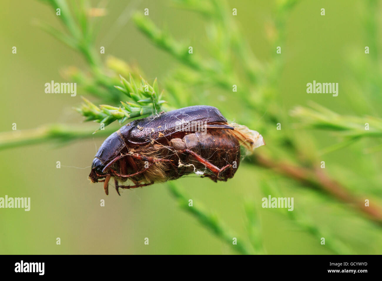 Beetle (Phyllophaga sp.) dangling on a plant stem, attached by being trapped in a spider web. - Stock Image