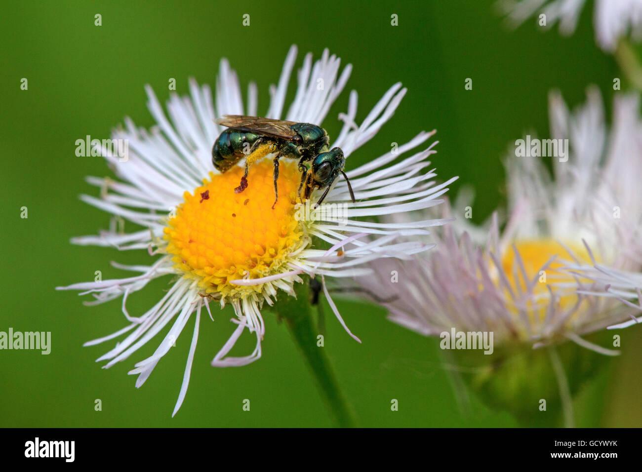 Daisy fleabane (Erigeron philadelphicus) with metallic sweat bee (Halictidae sp.) - Stock Image