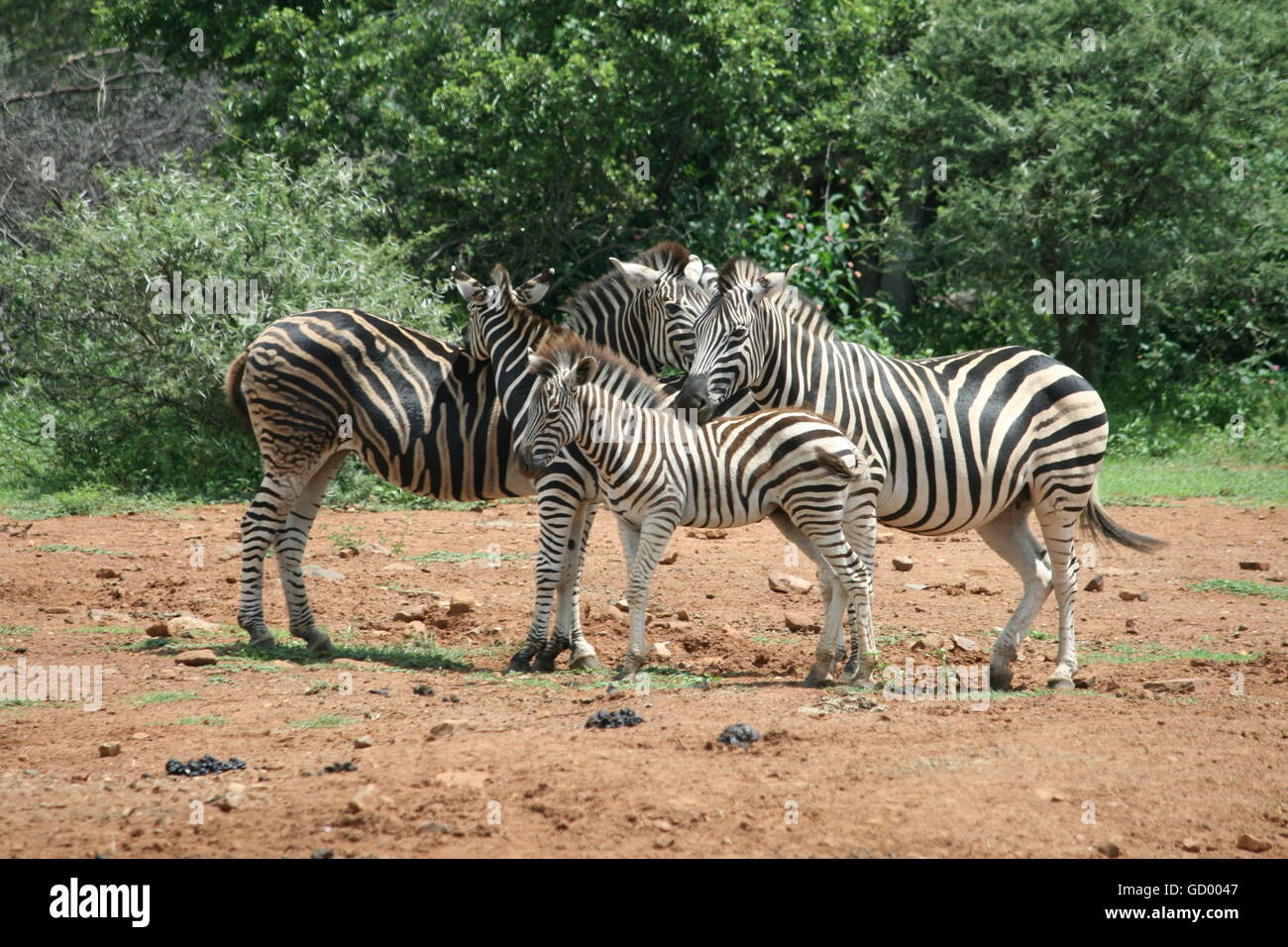 A zebra family of four standing close to each other in Pilanesberg National Park - Stock Image