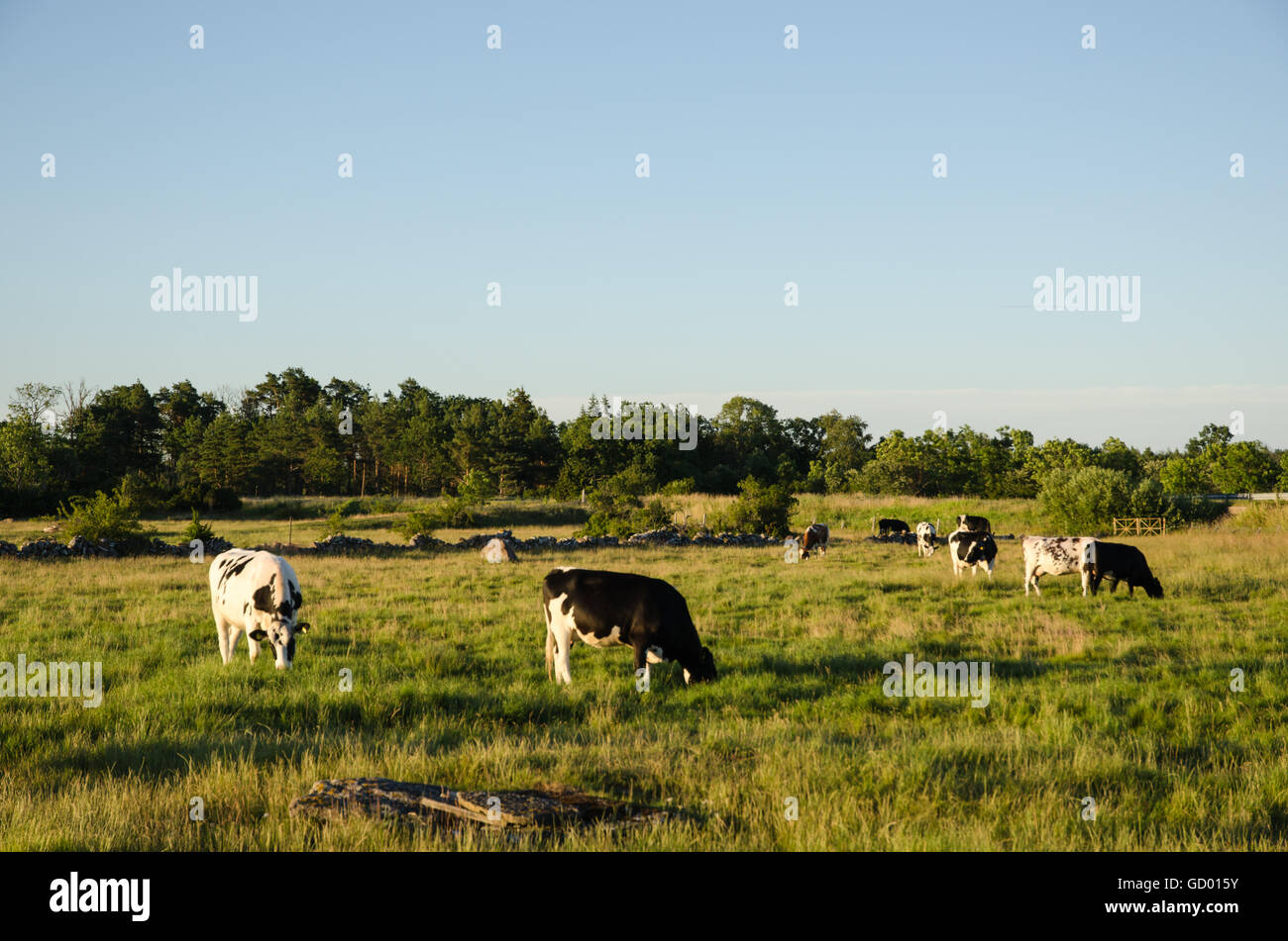 Grazing herd of cattle in a green pastureland in the late evening sunshine - Stock Image