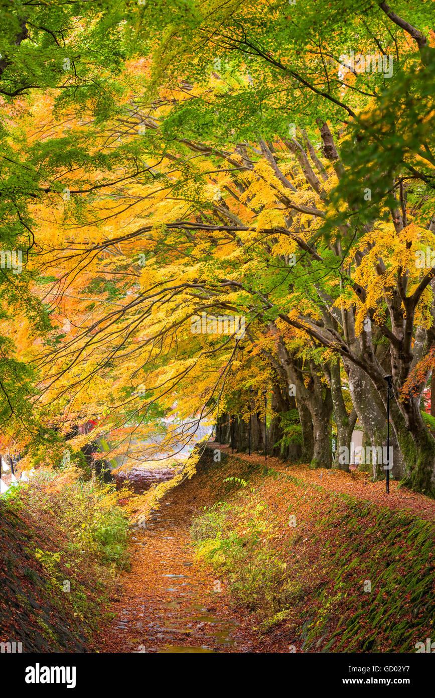 Maple Corridor near Kawaguchi Lake, Japan during autumn. - Stock Image