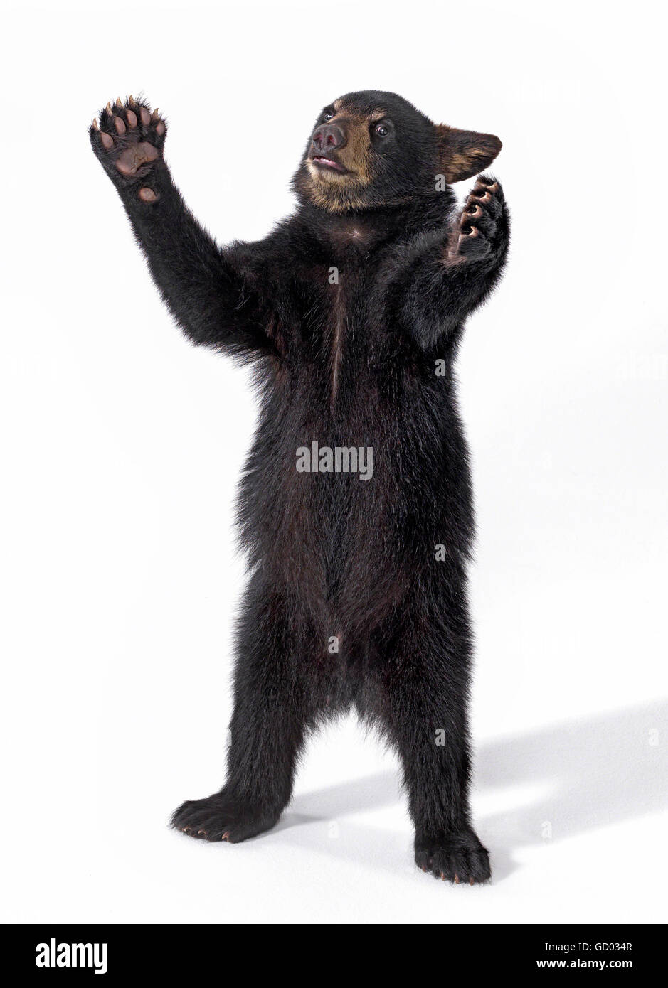34b1da5e017 Black bear cub standing on hind legs with arms open wide and a whimsical  expression against