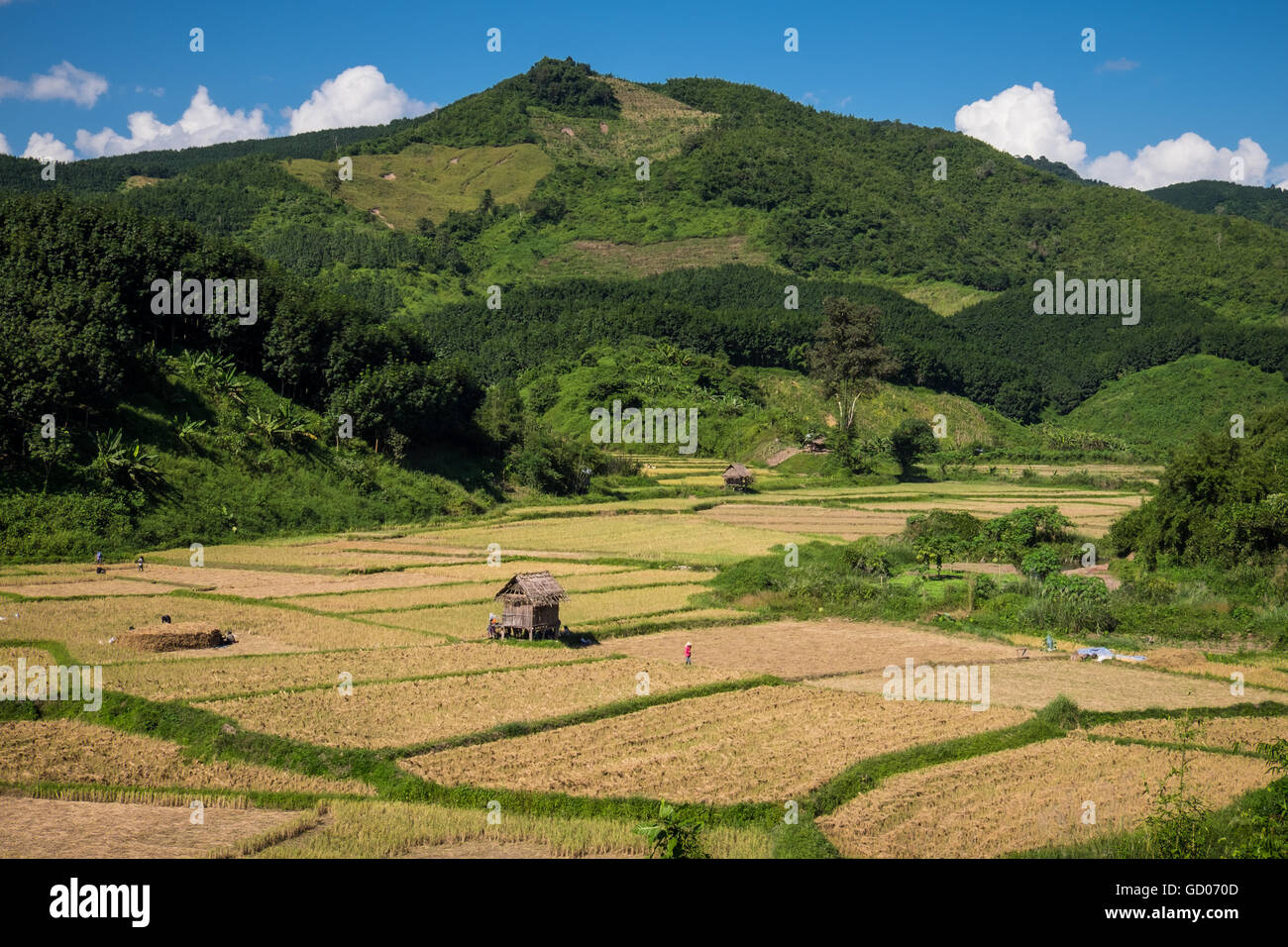 People harvesting rice in the hot afternoon sun near Luang Namtha, Laos PDR - Stock Image