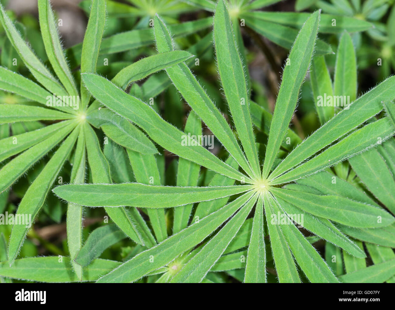 Hairy leaves of a lupine, Lupinus - Stock Image