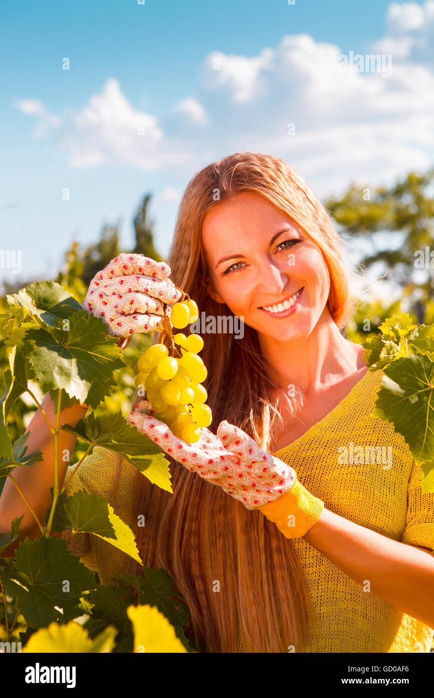 Woman winegrower picking grapes at harvest time in the vineyard - Stock Image