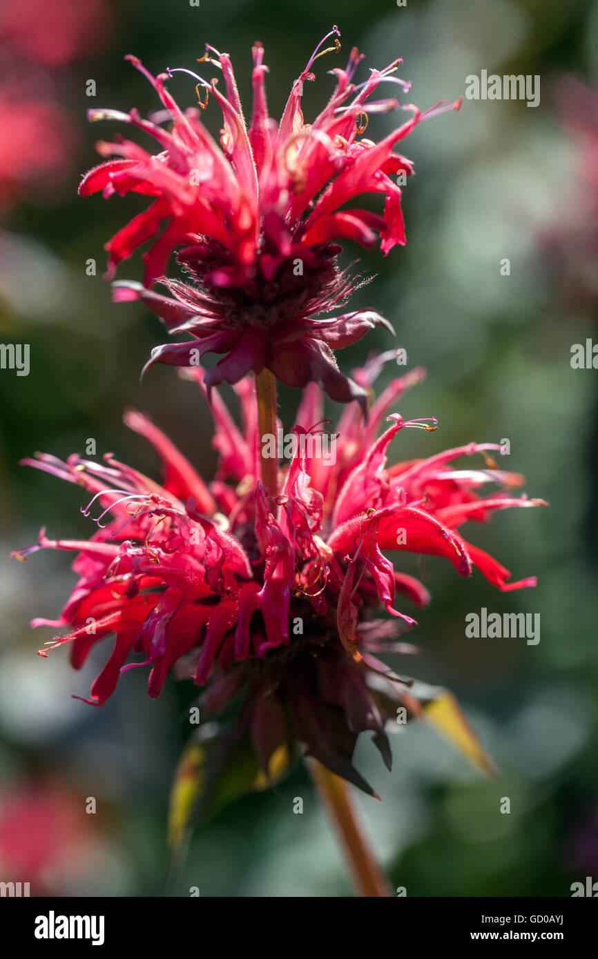 Monarda 'Gardenview Scarlet', bee balm, horsemint, oswego tea or bergamot Stock Photo