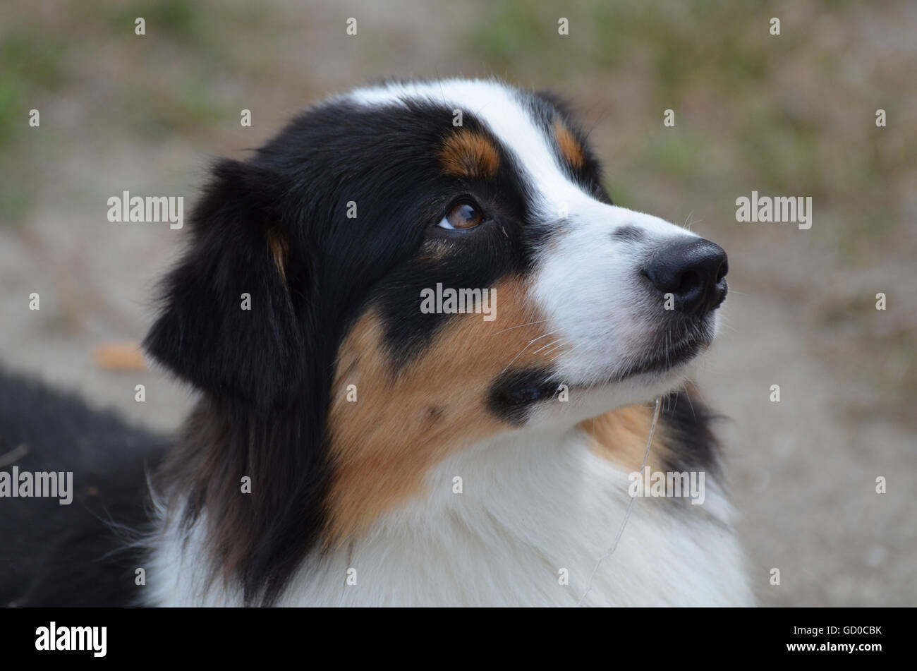 Gorgeous Aussie from a side view with a really cute face. - Stock Image