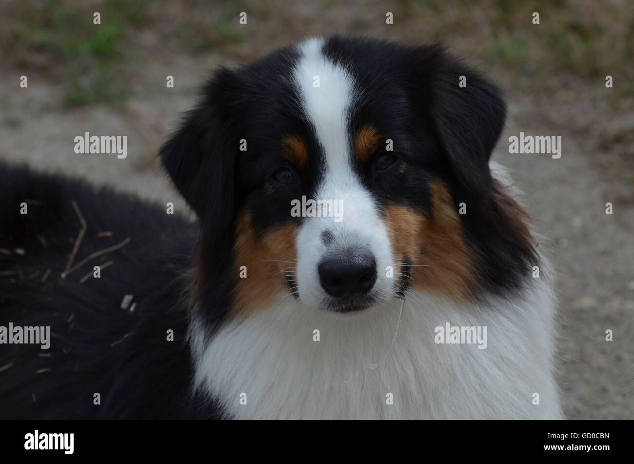 Sweet faced tri-colored Australian Shepherd dog with a sweet face. Stock Photo